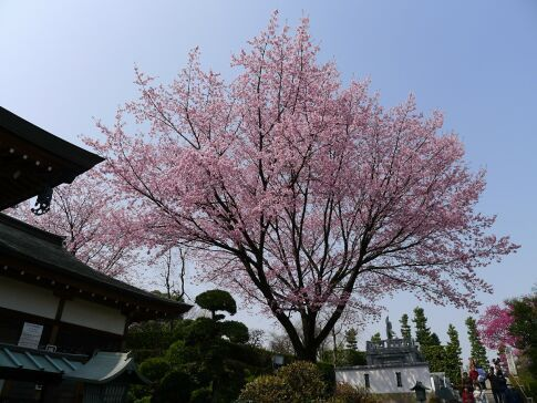 密蔵院の安行桜201507.jpg