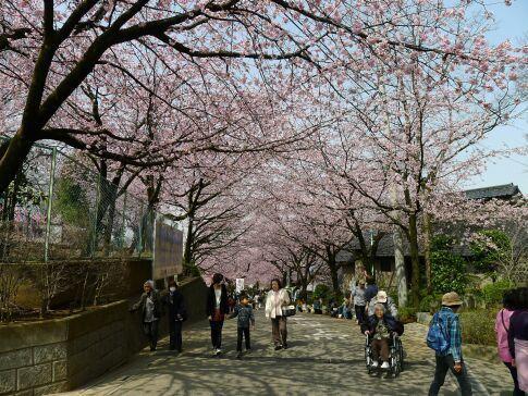 密蔵院の安行桜201501.jpg