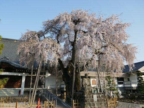専照寺の枝垂れ桜4.jpg