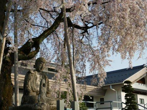 専照寺の枝垂れ桜5.jpg