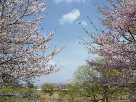 小山市下生井の桜2.jpg