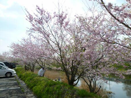 小山市下生井の桜4.jpg