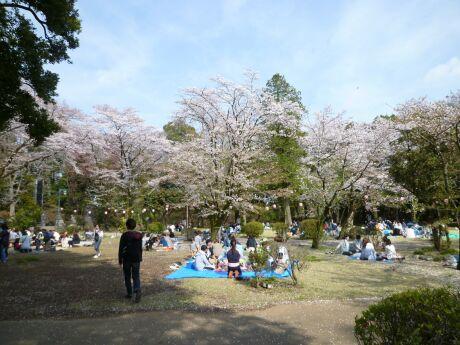 小山祇園城 桜3.jpg