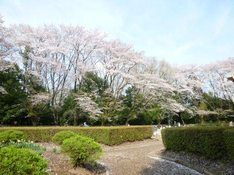 小山祇園城 桜1.jpg
