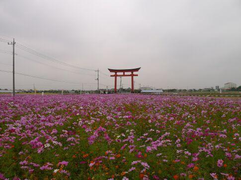 小泉稲荷前のコスモス.jpg