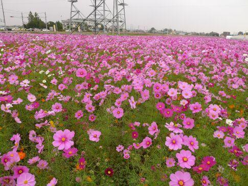 小泉稲荷前のコスモス5.jpg