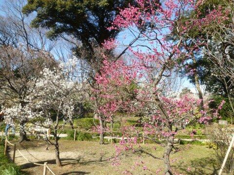 小石川後楽園の梅201402.jpg