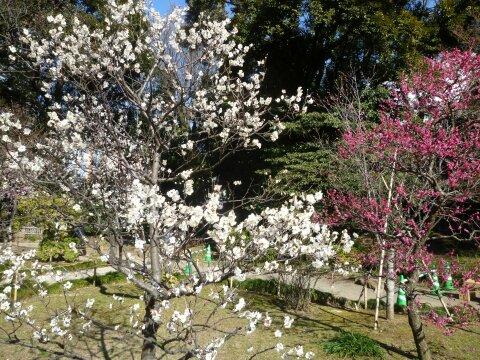 小石川後楽園の梅201403.jpg