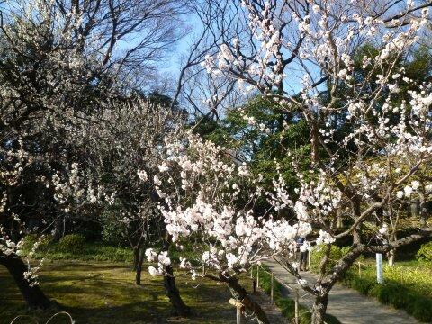 小石川後楽園の梅201404.jpg