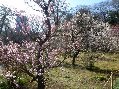 小石川後楽園の梅201401.jpg