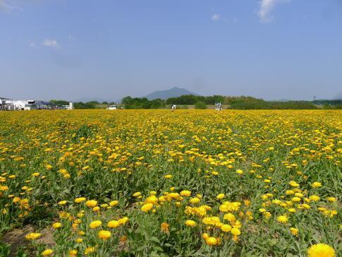 小貝川ポピー3.jpg
