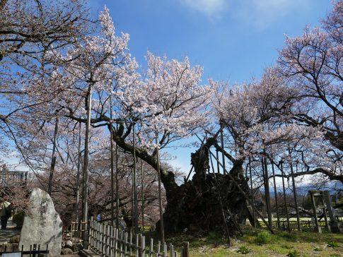 山高神代桜201901.jpg