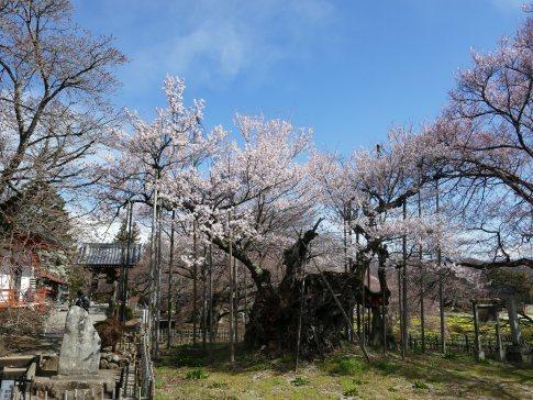 山高神代桜201902.jpg