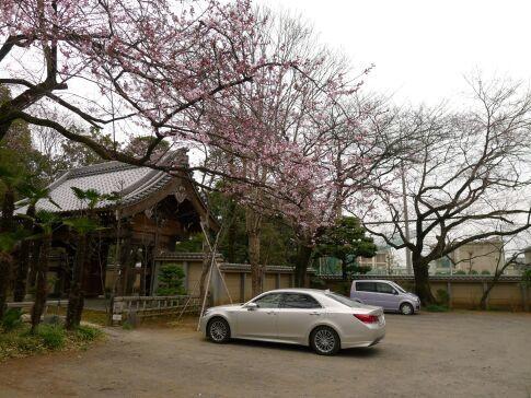 川越 桜2.jpg
