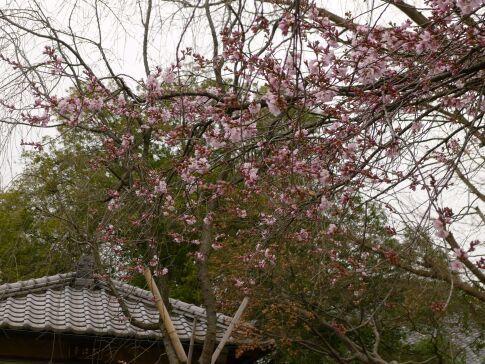 川越 桜3.jpg