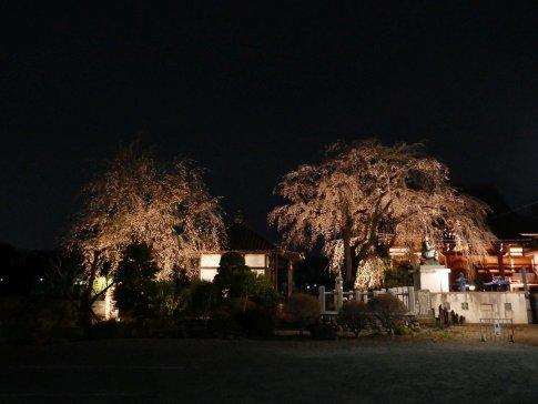 常楽寺 桜ライトアップ.jpg