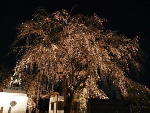 常楽寺 桜ライトアップ2.jpg