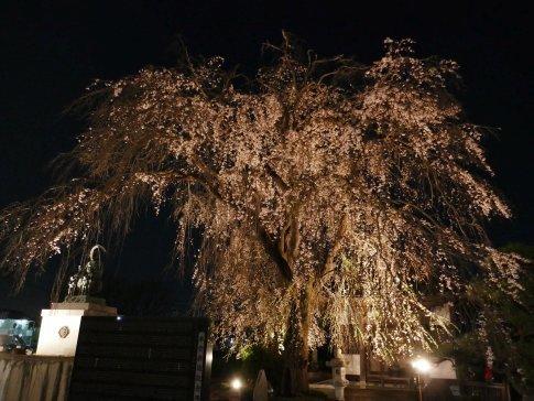 常楽寺 桜ライトアップ3.jpg