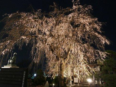 常楽寺 桜ライトアップ4.jpg