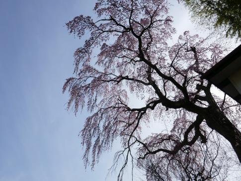 常楽院桜3.jpg