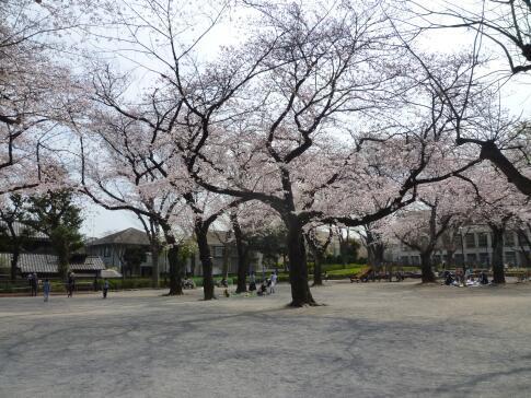 常盤台公園の桜2.jpg