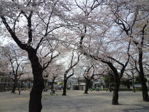 常盤台公園の桜3.jpg