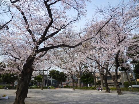 常盤台公園の桜4.jpg