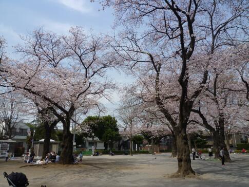 常盤台公園の桜5.jpg