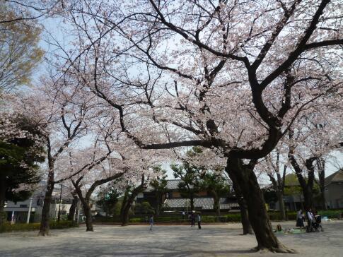 常盤台公園の桜1.jpg