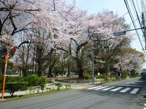 平和公園 桜.jpg
