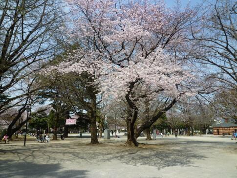 平和公園 桜3.jpg
