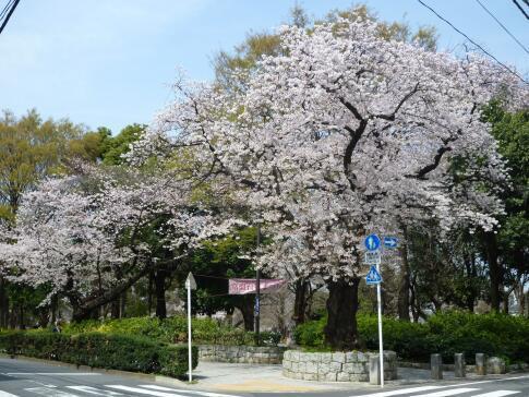 平和公園 桜6.jpg