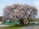 庄司戻しの桜.jpg