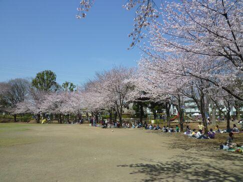 府中公園の桜.jpg