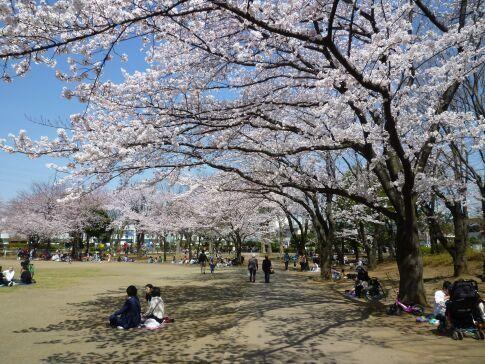 府中公園の桜2.jpg
