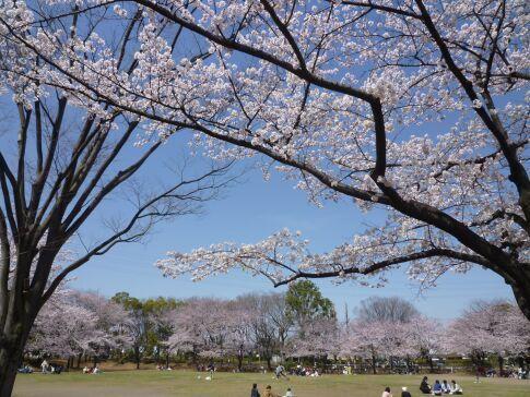 府中公園の桜3.jpg