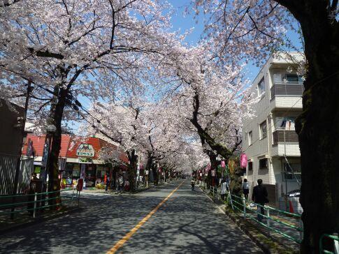 府中桜通り3.jpg