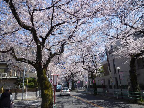 府中桜通り4.jpg