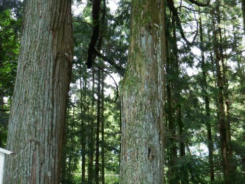 弾痕の杉.jpg