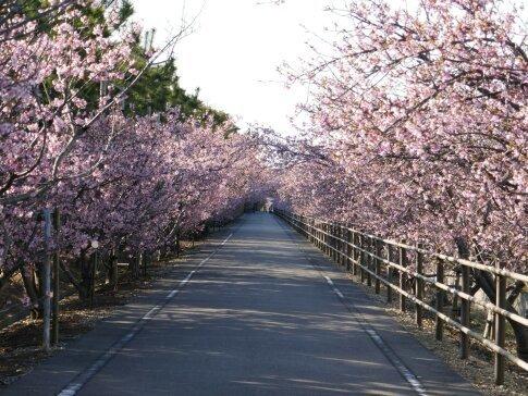 御前崎の河津桜.jpg