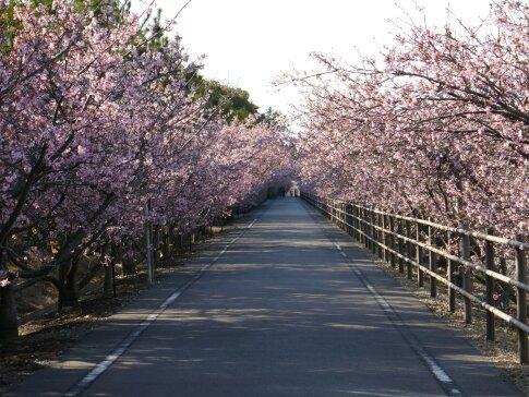 御前崎の河津桜2.jpg