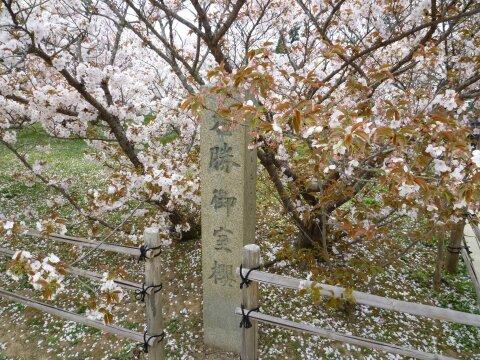 御室の桜.jpg