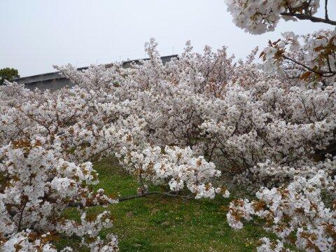 御室の桜2.jpg