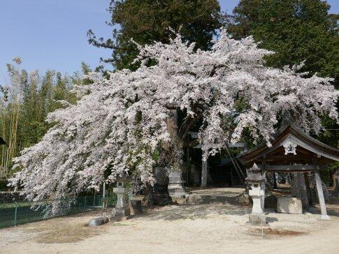 御射山神社の桜.jpg
