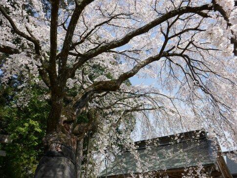 御射山神社の桜2.jpg