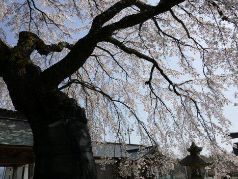 御射山神社の桜4.jpg