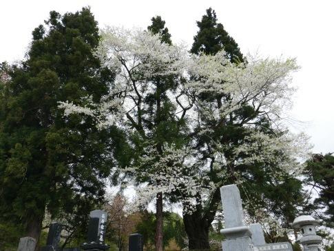 御魂山神代桜2.jpg