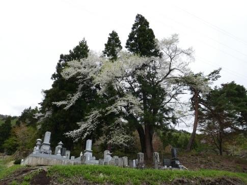 御魂山神代桜3.jpg