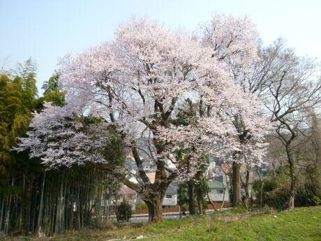 徳王の桜.jpg