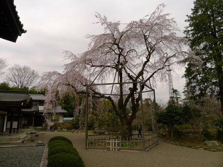 心源院の桜.jpg